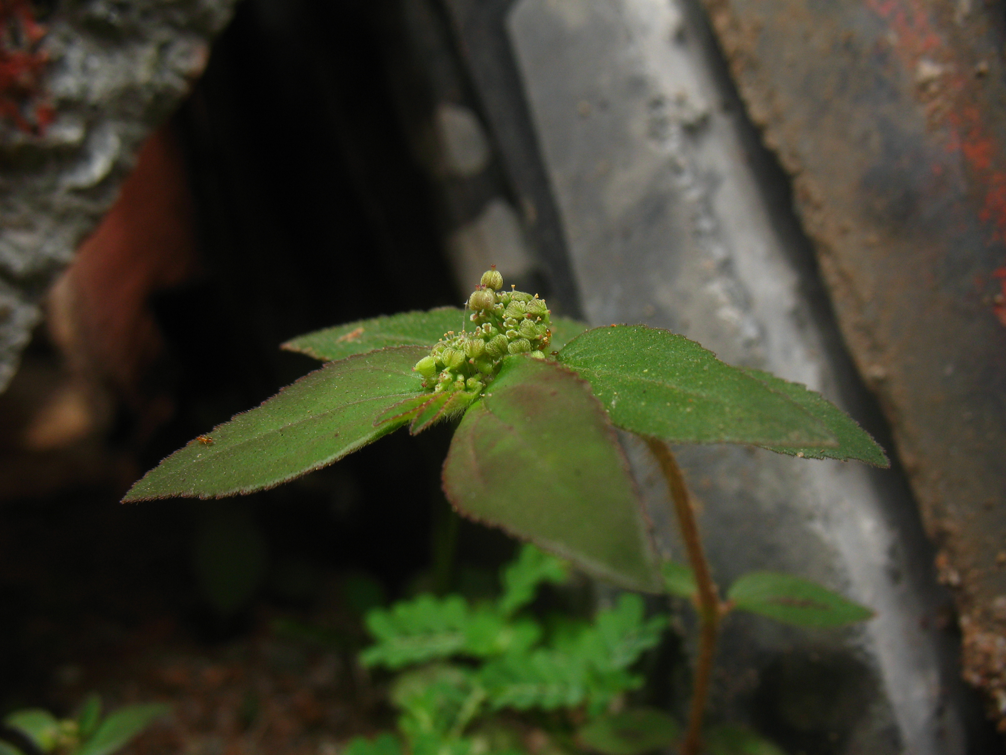 research paper for tawa tawa euphorbia hirta Tawa-tawa (euphorbia hirta), also known as gatas-gatas, is a hairy herb grown in open grasslands, roadsides and pathways this indigenous plant is considered as one of the most popular folkloric treatment for dengue in the philippines.